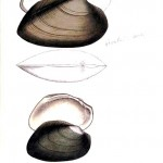 Animal - Curiosity - Bivalves of North America - 1836 -  (23)