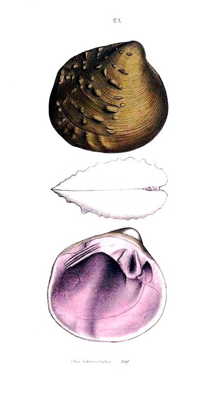 Animal - Curiosity - Bivalves of North America - 1836 -  (24)