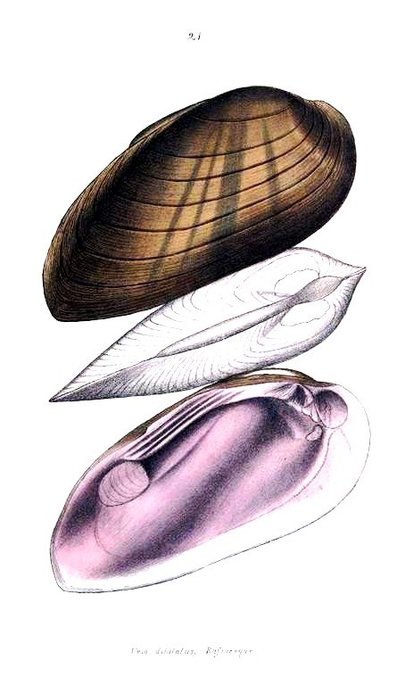 Animal - Curiosity - Bivalves of North America - 1836 -  (25)