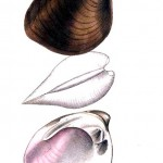 Animal - Curiosity - Bivalves of North America - 1836 -  (26)