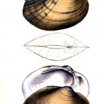 Animal - Curiosity - Bivalves of North America - 1836 -  (27)