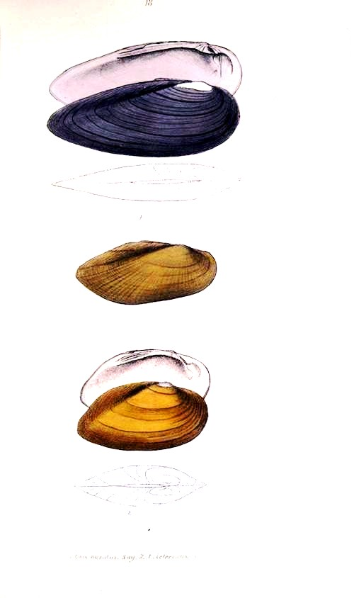 Animal - Curiosity - Bivalves of North America - 1836 -  (28)