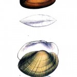 Animal - Curiosity - Bivalves of North America - 1836 -  (29)