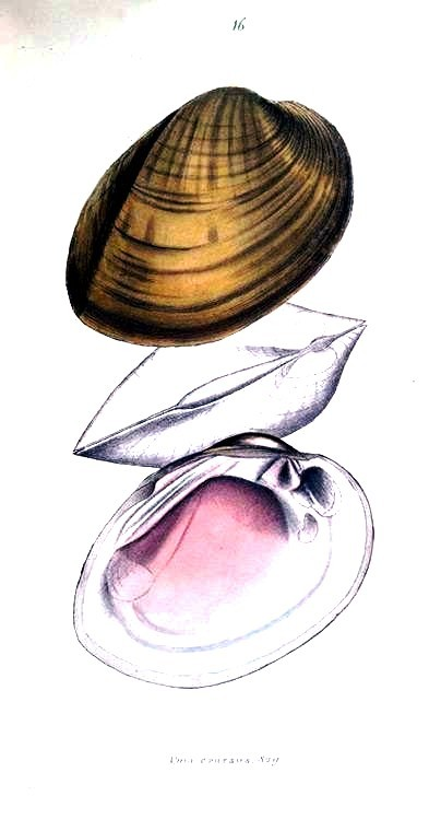 Animal - Curiosity - Bivalves of North America - 1836 -  (30)