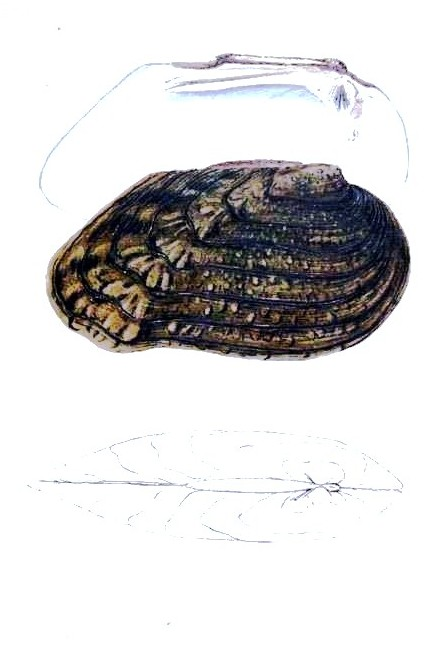 Animal - Curiosity - Bivalves of North America - 1836 -  (32)