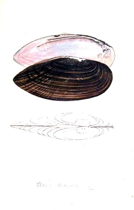 Animal - Curiosity - Bivalves of North America - 1836 -  (34)