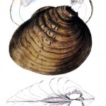 Animal - Curiosity - Bivalves of North America - 1836 -  (38)