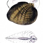 Animal - Curiosity - Bivalves of North America - 1836 -  (39)