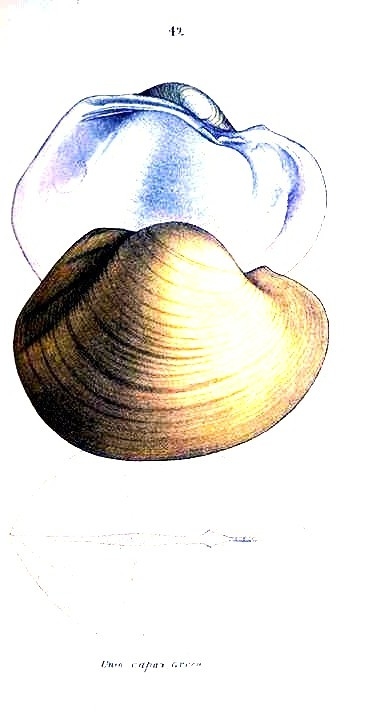 Animal - Curiosity - Bivalves of North America - 1836 -  (4)