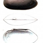 Animal - Curiosity - Bivalves of North America - 1836 -  (41)
