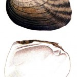 Animal - Curiosity - Bivalves of North America - 1836 -  (43)