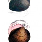 Animal - Curiosity - Bivalves of North America - 1836 -  (45)
