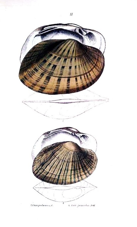 Animal - Curiosity - Bivalves of North America - 1836 -  (47)