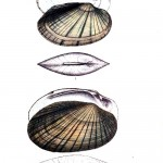 Animal - Curiosity - Bivalves of North America - 1836 -  (48)