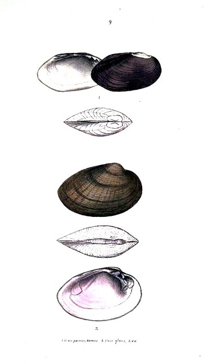 Animal - Curiosity - Bivalves of North America - 1836 -  (49)