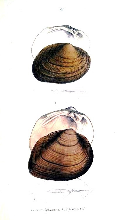 Animal - Curiosity - Bivalves of North America - 1836 -  (5)