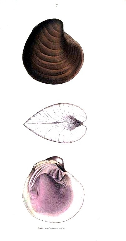 Animal - Curiosity - Bivalves of North America - 1836 -  (50)