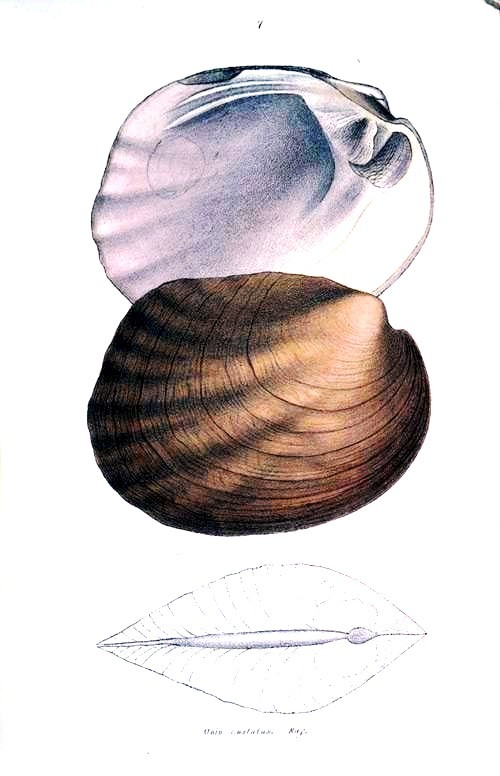 Animal - Curiosity - Bivalves of North America - 1836 -  (51)