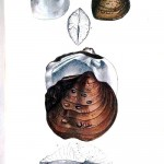Animal - Curiosity - Bivalves of North America - 1836 -  (52)