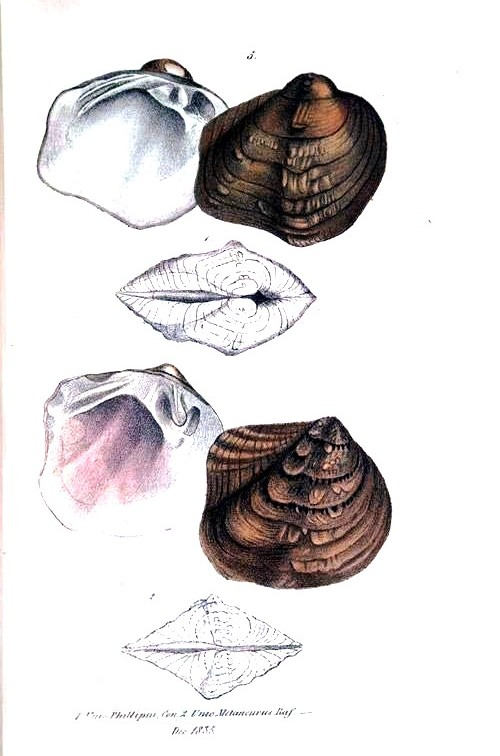 Animal - Curiosity - Bivalves of North America - 1836 -  (53)