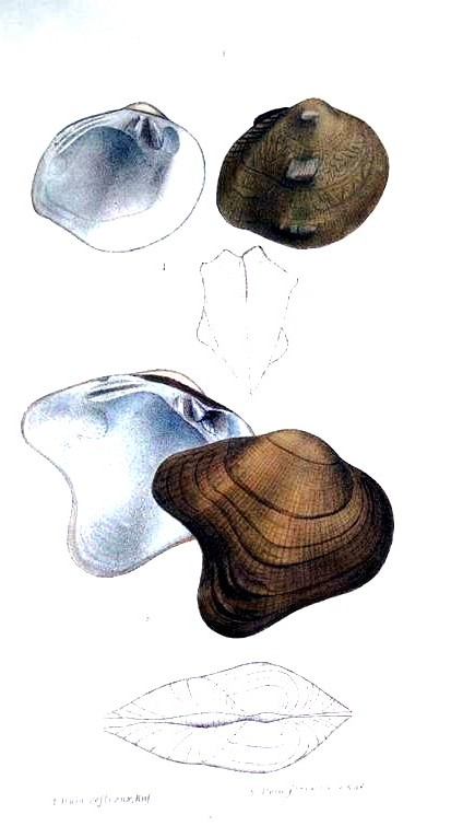 Animal - Curiosity - Bivalves of North America - 1836 -  (54)