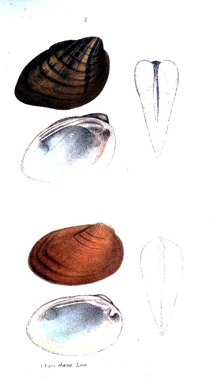 Animal - Curiosity - Bivalves of North America - 1836 -  (55)