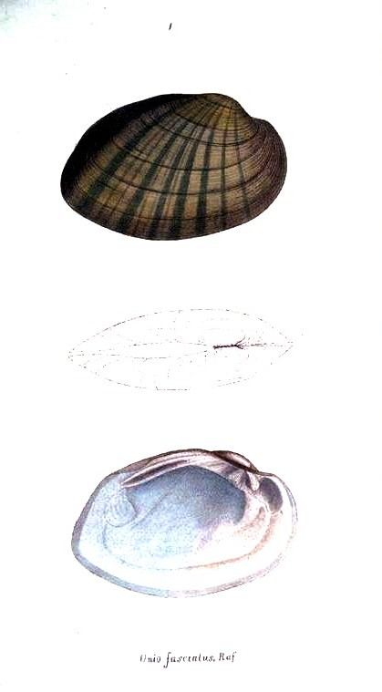 Animal - Curiosity - Bivalves of North America - 1836 -  (57)