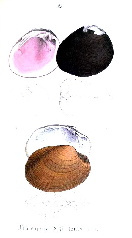 Animal - Curiosity - Bivalves of North America - 1836 -  (59)