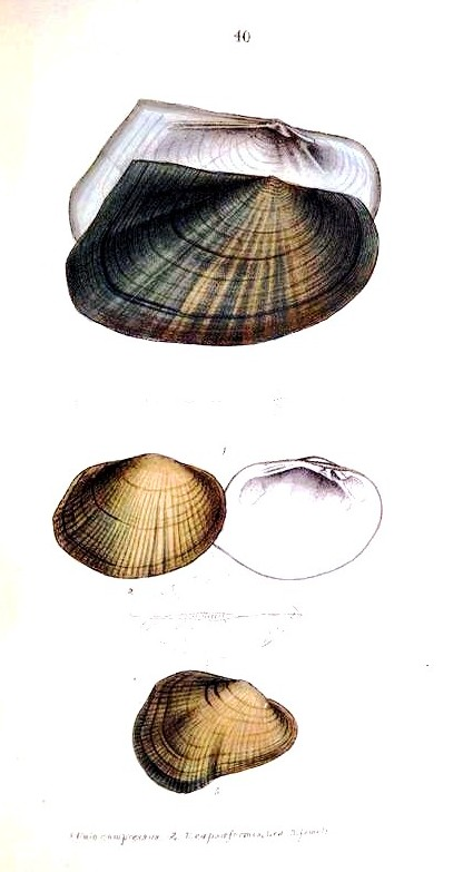 Animal - Curiosity - Bivalves of North America - 1836 -  (6)