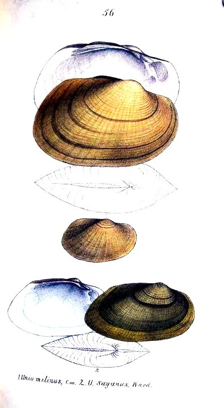 Animal - Curiosity - Bivalves of North America - 1836 -  (61)