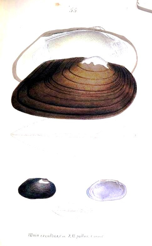 Animal - Curiosity - Bivalves of North America - 1836 -  (62)