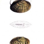 Animal - Curiosity - Bivalves of North America - 1836 -  (64)