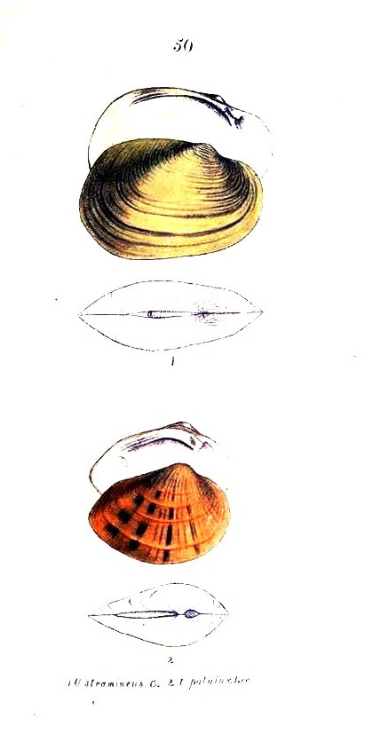 Animal - Curiosity - Bivalves of North America - 1836 -  (67)
