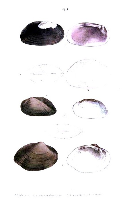 Animal - Curiosity - Bivalves of North America - 1836 -  (68)