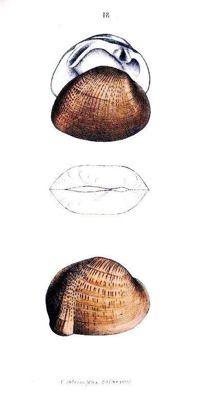 Animal - Curiosity - Bivalves of North America - 1836 -  (69)