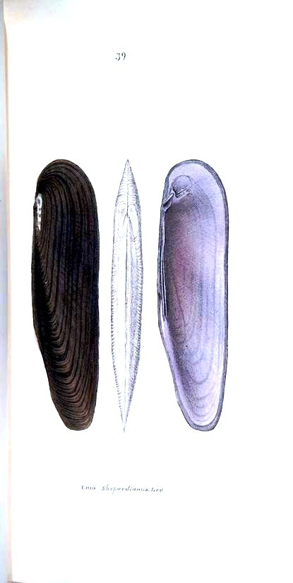 Animal - Curiosity - Bivalves of North America - 1836 -  (7)