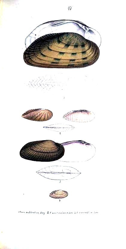 Animal - Curiosity - Bivalves of North America - 1836 -  (70)