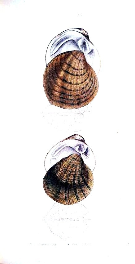 Animal - Curiosity - Bivalves of North America - 1836 -  (71)