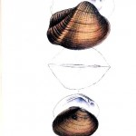 Animal - Curiosity - Bivalves of North America - 1836 -  (8)
