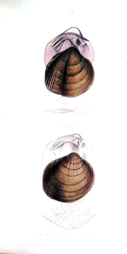 Animal - Curiosity - Bivalves of North America - 1836 -  (9)
