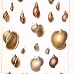 Animal - Curiosity - Conchology of Great Britain and Ireland   (1)