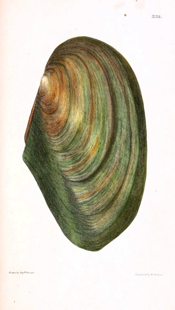 Animal - Curiosity - Conchology of Great Britain and Ireland   (10)