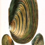 Animal - Curiosity - Conchology of Great Britain and Ireland   (11)