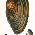 Animal - Curiosity - Conchology of Great Britain and Ireland   (12)