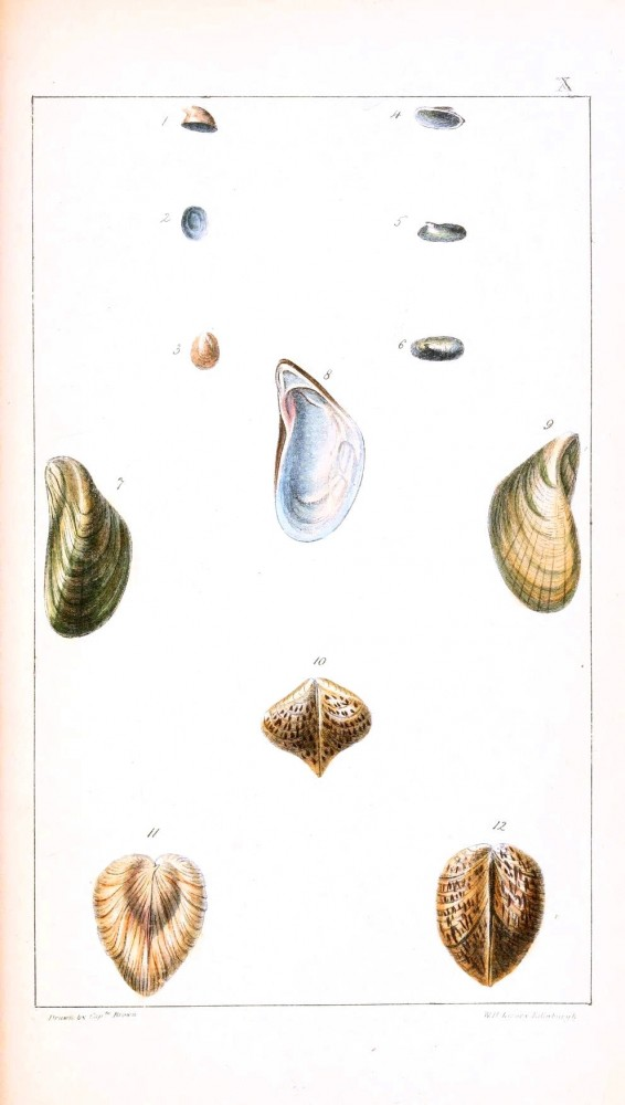 Animal - Curiosity - Conchology of Great Britain and Ireland   (13)