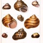 Animal - Curiosity - Conchology of Great Britain and Ireland   (16)