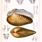Animal - Curiosity - Conchology of Great Britain and Ireland   (2)