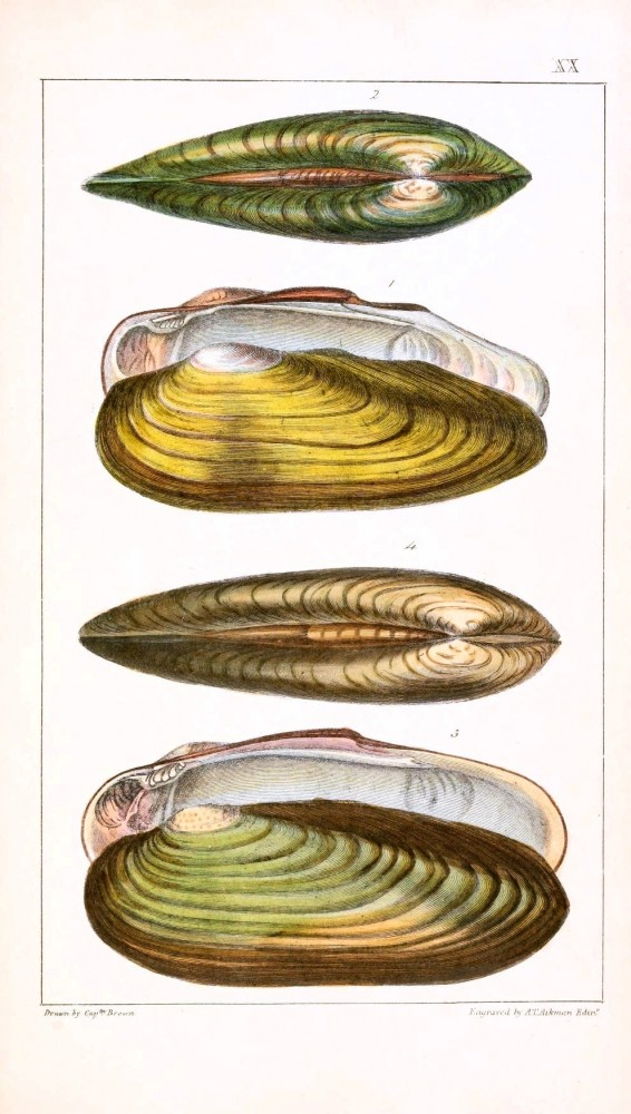 Animal - Curiosity - Conchology of Great Britain and Ireland   (3)