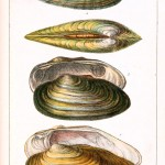Animal - Curiosity - Conchology of Great Britain and Ireland   (4)