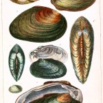 Animal - Curiosity - Conchology of Great Britain and Ireland   (5)